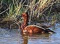 Cinnamon teal at Seedskadee National Wildlife Refuge (41126248645).jpg