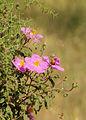 Cistus creticus LC0069.jpg