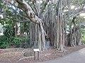 City Botanical banyan 3.jpg