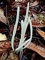 Clavaria fragilis 689299.jpg