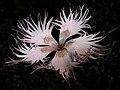 Clavellina deshilachada - Dianthus hyssopifolius (14882810866).jpg