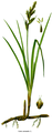 Cleaned-Carex arenaria.png