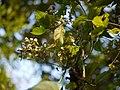 Clematis hedysarifolia (5154655053).jpg