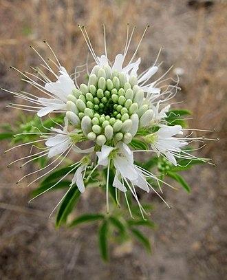 Cleome serrulata - Image: Cleome serrulata white