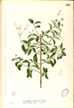 Clerodendrum inerme Blanco1.224-original.png