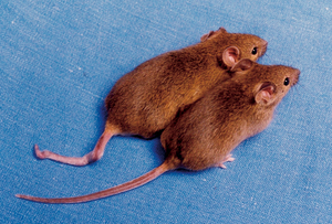 Transgenerational epigenetic inheritance - Image: Cloned mice with different DNA methylation