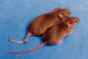 Annotation:Mice