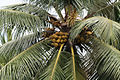 CoconutTree2.JPG