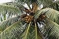 CoconutTree2.JPG