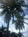 Coconut tree climbing DSCN0311.jpg