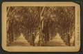 Cocunut Ave. (View of coconut tree-lined route.), from Robert N. Dennis collection of stereoscopic views.png