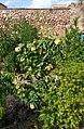 Codonyer d'un hort del carrer de san Miguel, Soneja.jpg