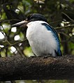 Collared Kingfisher Todiramphus chloris by Dr. Raju Kasambe DSCN0915 (46).jpg