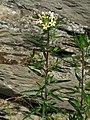 Collomia grandiflora RF.jpg