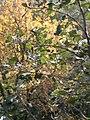 Collserola prop de Sant Cugat DSCN0195.jpg