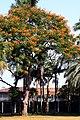 Colvillea racemosa 50D 5945.jpg