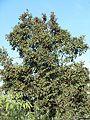 Combretum molle, loof en vrugte, Bronberg, b.jpg