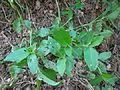 Commelina benghalensis Nepal 06.JPG