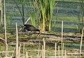 Common Gallinule (34872528372).jpg