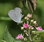Common Hedge Blue (Acytolepis puspa) I IMG 6395.jpg
