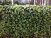 Common Ivy - κισσός 01.jpg