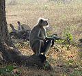 Common Langur. Presbytis entellus. - Flickr - gailhampshire (1).jpg