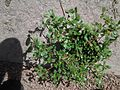Common Purslane.jpg