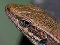 Common Wall Lizard (Podarcis muralis) close-up (10251672845).jpg