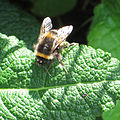 Common bumble bee at Scampston (geograph 4023068).jpg