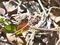 Common darter (Sympetrum striolatum) 02.jpg