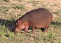 Common hippopotamus, Hippopotamus amphibius, at Letaba, Kruger National Park, South Africa (20211915342).jpg