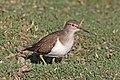 Common sandpiper (Actitis hypoleucos) Ethiopia.jpg