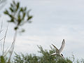 Common tern, diving (14380685155).jpg