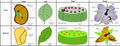 Comparison of Monocotyledons and Dicotyledons.png