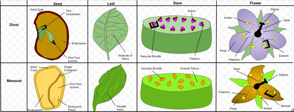 Comparison of Monocotyledons and Dicotyledons