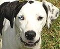 Complete heterochromia in a dog.jpg