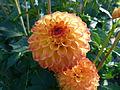 Concours international de dahlia 2012 Parc Floral à Paris 10.JPG