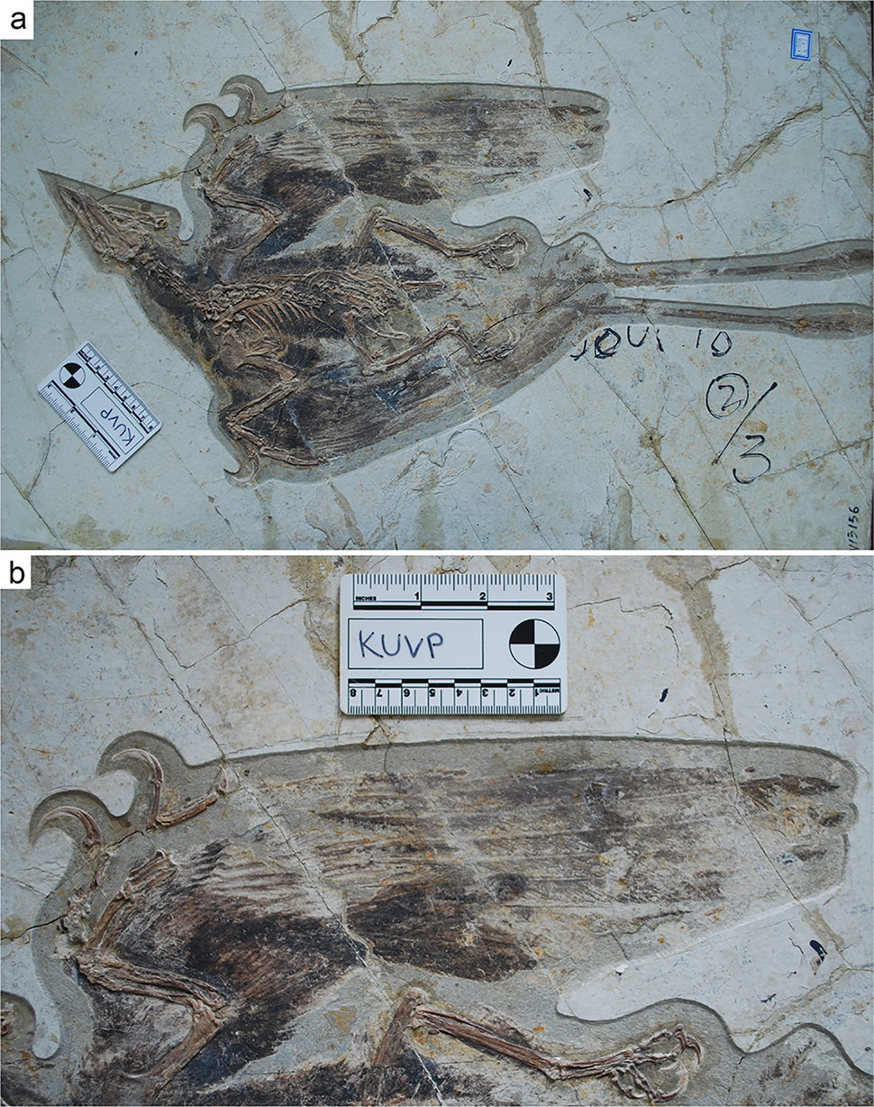 Confuciusornis primary feathers