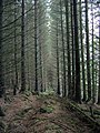 Conifer plantation - geograph.org.uk - 62871.jpg