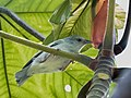 Conirostrum margaritae - Pearly-breasted conebill; Marchantaria island, Iranduba, Amazonas, Brazil.jpg