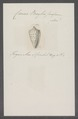 Conus baylei - - Print - Iconographia Zoologica - Special Collections University of Amsterdam - UBAINV0274 086 02 0024.tif