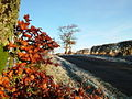 Copper Beech on a frosty morning - geograph.org.uk - 91791.jpg