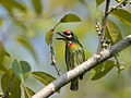 Coppersmith Barbet 6850.jpg