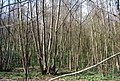 Coppiced trees, Puckden Wood (2) - geograph.org.uk - 1261663.jpg