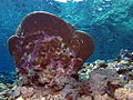 Coralline algae on undersides of coral (6158473679).jpg