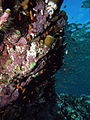 Coralline algae on wall (6158471519).jpg