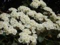 Cordia amplifolia blossom.JPG