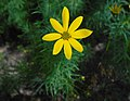 Coreopsis verticillata 2015-07-15 4423.jpg