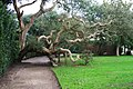 Cork Tree, Mount Edgcumbe Formal Gardens - geograph.org.uk - 349304.jpg