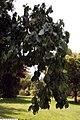 Cornus florida Pendula 4zz.jpg